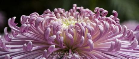 Purple Spider Mum
