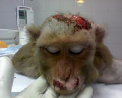 Leaked photo from Primate Products in south Florida, a primary supplier for research labs like Scripps Biotech