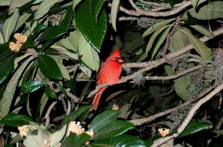 Feathers Of Red In The Shadow Of Night