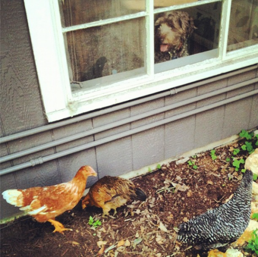 Stella really wanted to meet the new chicks.