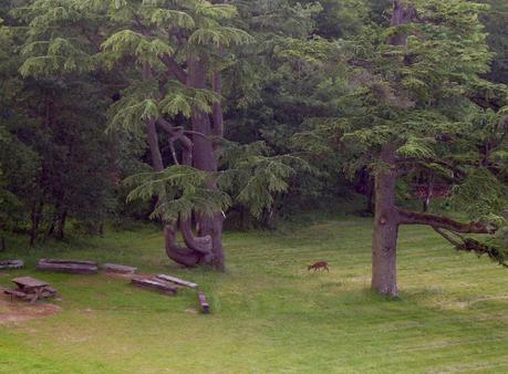 Château de la Bourdaisière - wild red deer on edge of forest -  Loire Valley - France