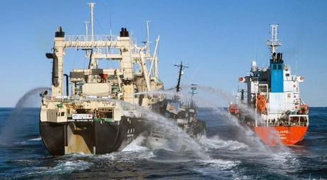 The Sea Shepherd ship Bob Barker (C) sandwiched between Japanese whaling ship Nisshin Maru (L) and whaling fleetТs fuel tanker. (AFP Photo)