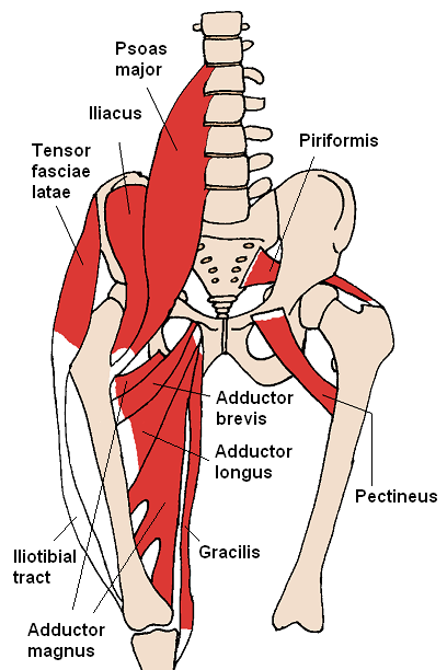 Diagram detailing the front view of lower spine, pelvis, and thighs. Various muscles, including the hip adductors, are shown in red and are labeled.