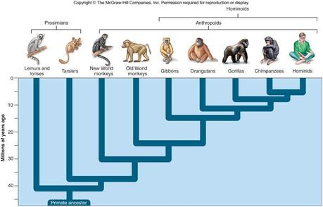 primate evolution essay Paleoanthropologists - scientists who study human evolution - have proposed a variety of ideas about how environmental conditions may have stimulated important developments in human origins diverse species have emerged over the course of human evolution, and a suite of adaptations have.
