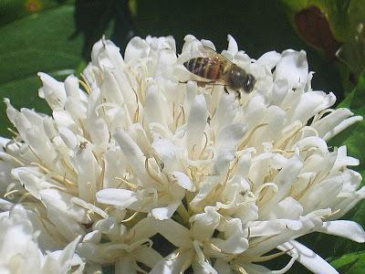Bees Benefit From Caffeine
