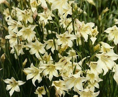 Gladiolus tristis Night Gladiolus