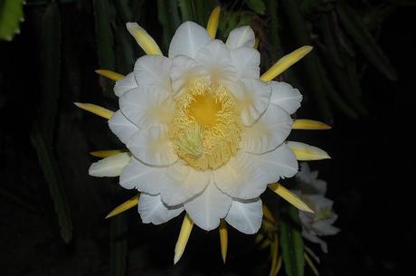 Dragon Fruit Flower Full Bloom