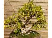 Ficus Bonsai, Spiritual Tree