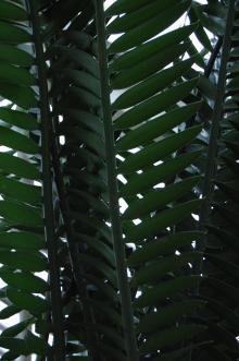 Encephalartos longifolius Leaf (09/02/2013, Kew Gardens, London)