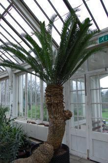 Encephalartos longifolius (09/02/2013, Kew Gardens, London)