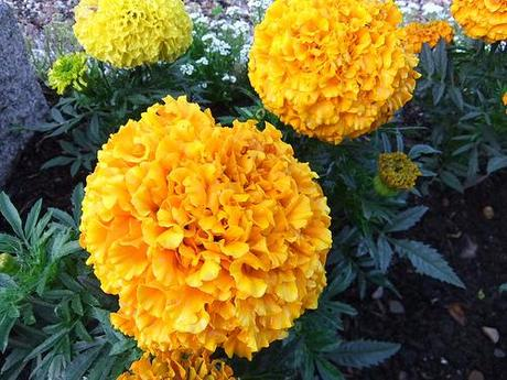 marigolds yellow orange