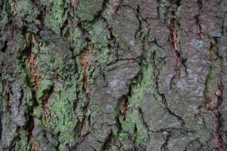 Pseudotsuga macrocarpa Bark (09/02/2013, Kew Gardens, London)