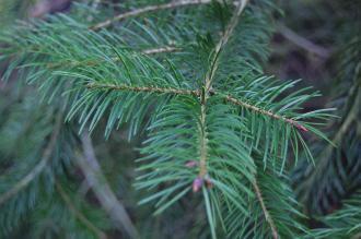 Pseudotsuga macrocarpa Leaf (09/02/2013, Kew Gardens, London)