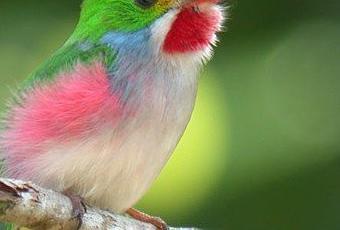 cuba's smallest bird the bee hummingbird paperblog