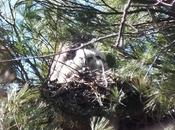 Great Horned Chicks Nest Thickson's Woods, Whitby