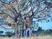 Kachere (Fig) Tree, Chisamba, Zambia