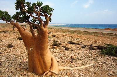 Socotra desert rose