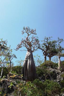 Socotra unique desert rose