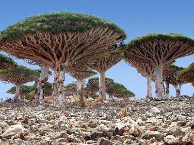 Socotra unique dragon blood trees
