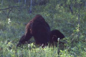 Very weird photo of a possible Bigfoot in Alberta, Canada, shot from the back. It is apparently sitting on the ground.
