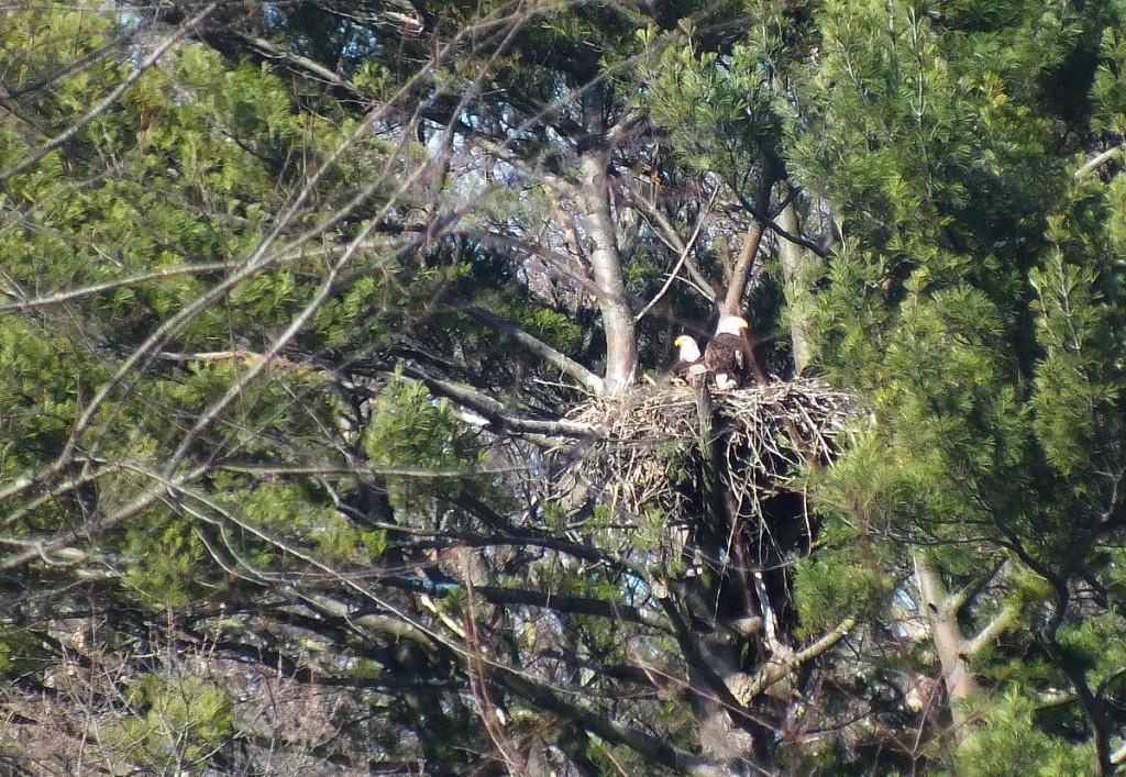 Bald Eagles sit on nests together - Cootes Paradise Marsh - Hamilton - Ontario