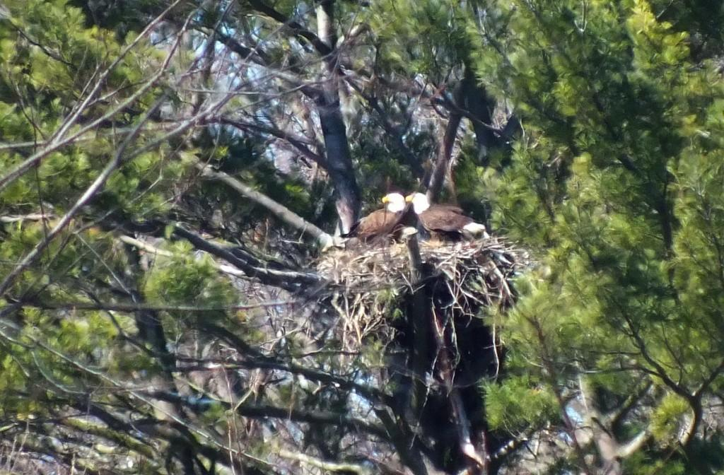Bald Eagles together in nest - Cootes Paradise Marsh - Hamilton - Ontario