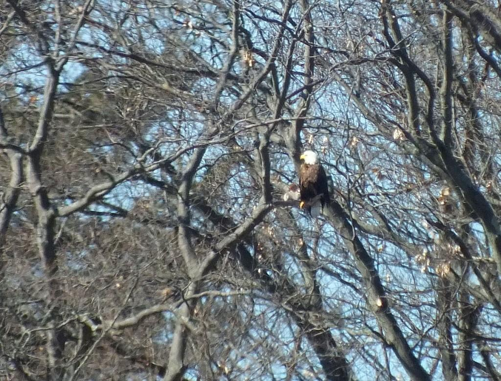 Bald Eagle sits on another tree - Cootes Paradise Marsh - Hamilton - Ontario