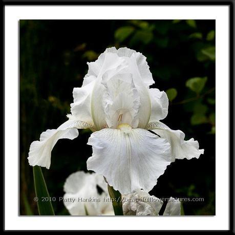 Immortality Iris