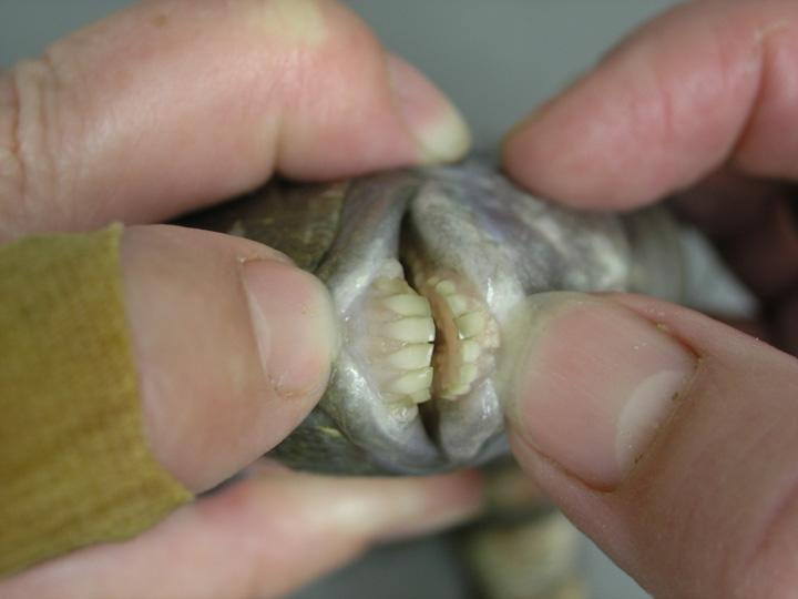 The stuff of nightmares fish with human teeth paperblog for Sheepshead fish eating