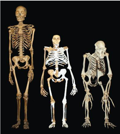 A modern human (left); sediba (middle) and chimp (right)