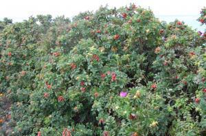 Rosa rugosa hedge (17/07/2011, Margate)