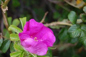 Rosa rugosa flower (17/07/2011, Margate)
