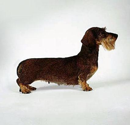 All about Dachshund Dog