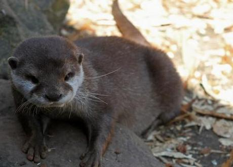 Otters are making a comeback: Furry water-dwellers found in every county in Britain