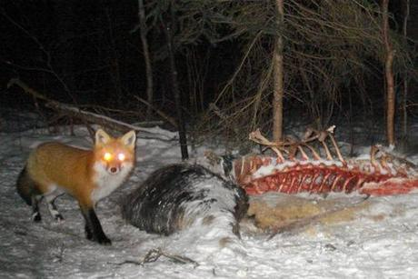 Red fox at moose carcass night APP 2.11 by Earth Tracks Outdoor School and Wilderness Canoe T