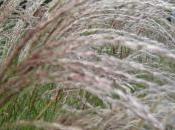Plant Week: Miscanthus Sinensis 'Yakushima Dwarf'