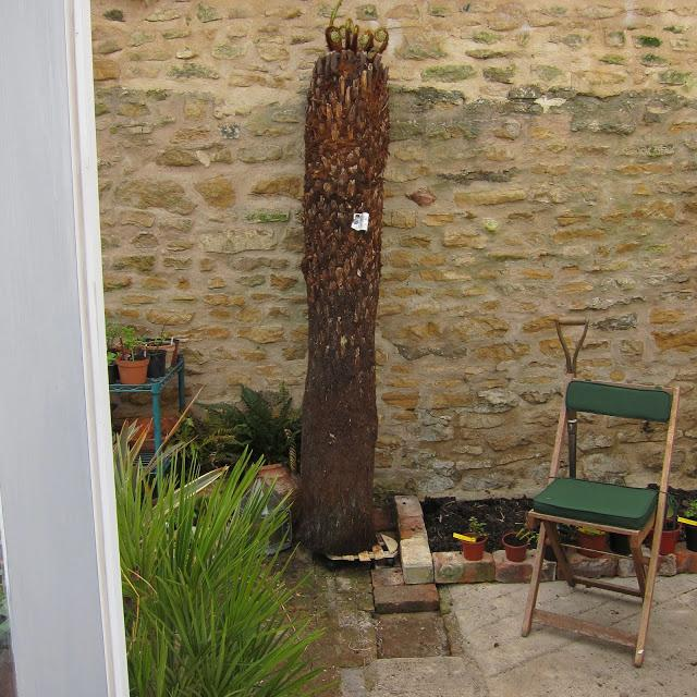 Tree Fern or telegraph pole ?