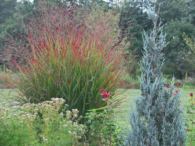 Ornamental Grasses Red : Gallery for gt red ornamental grass