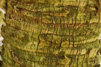 Sabal bermudana Bark (23/03/2012, Kew Gardens, London)