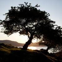 Trees at dusk, on the island of Lismore