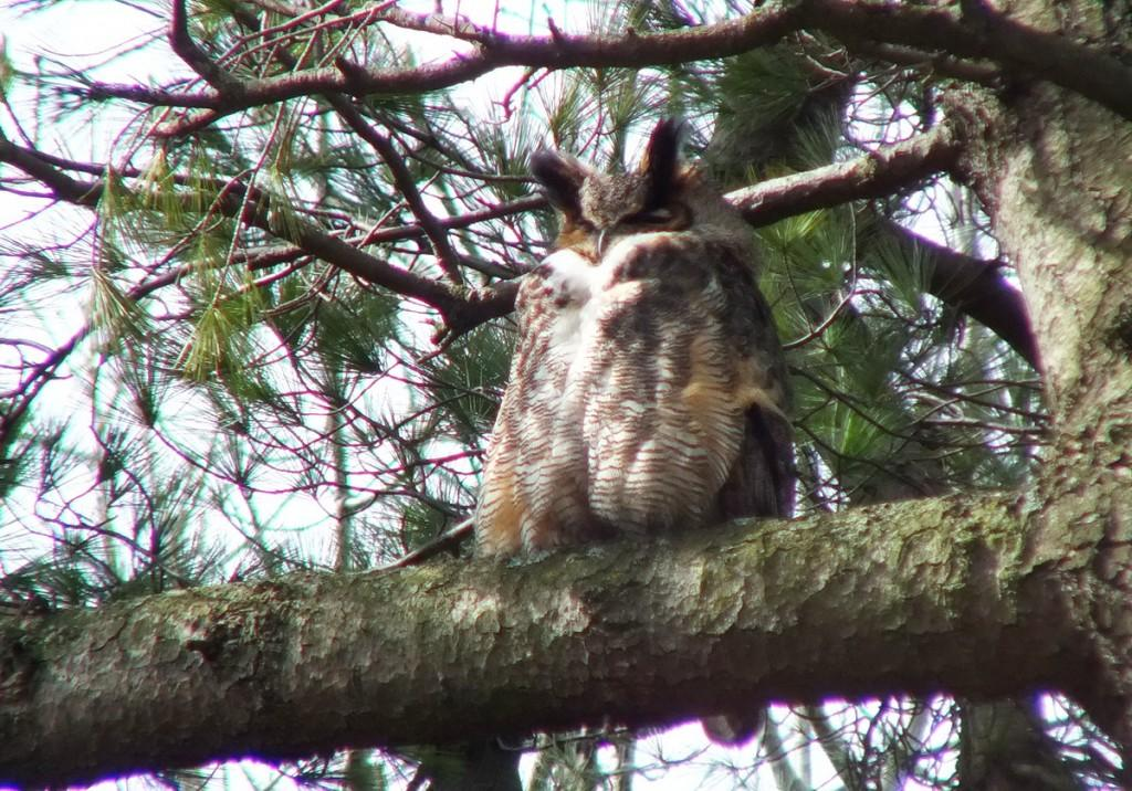 Great Horned Owls and Owlets � Thickson's Woods � Whitby - Paperblog
