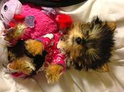 World's Smallest Adorable Yorkie Will Melt Your Heart!