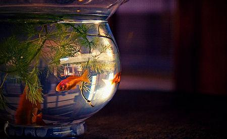 English Hotel Rents Goldfish To Guests