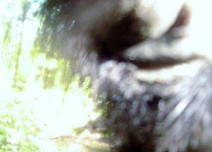 A photo of a possible Bigfoot from a game cam in Minnesota in 2007.