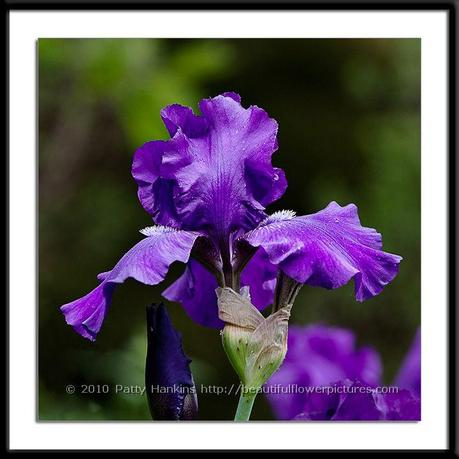Grape Adventure Bearded Iris