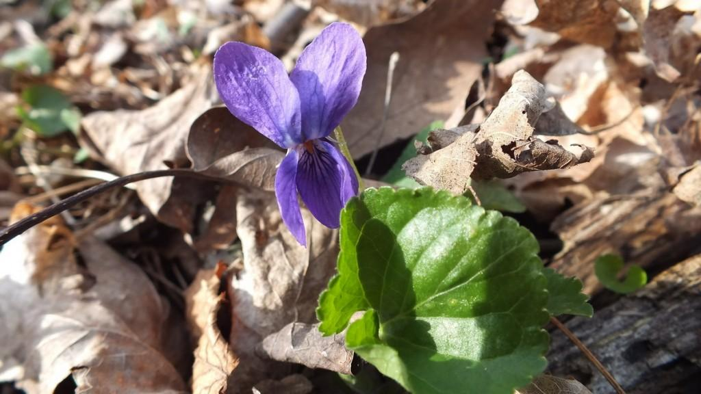 Northern Blue Violet, Beamer Memorial Conservation Area, Grimsby