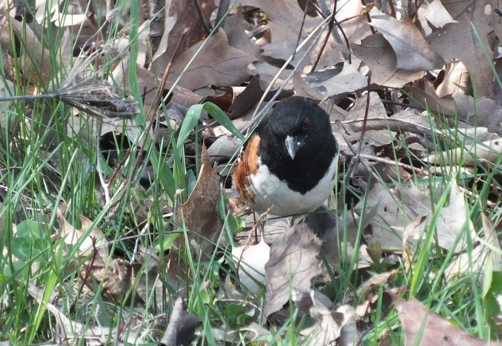 eastern towhee  - checks leaves for bugs - Beamer Memorial Conservation Area -  Grimsby - Ontario