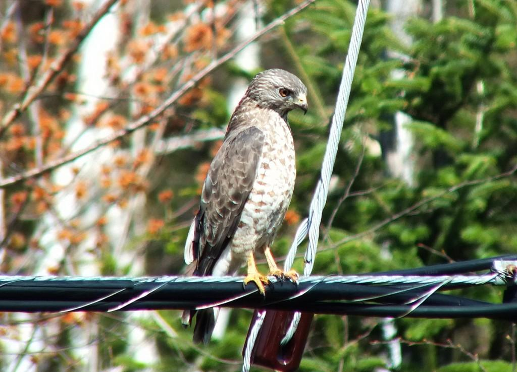 Broad-winged Hawk - on a powerline near Dorset - Ontario