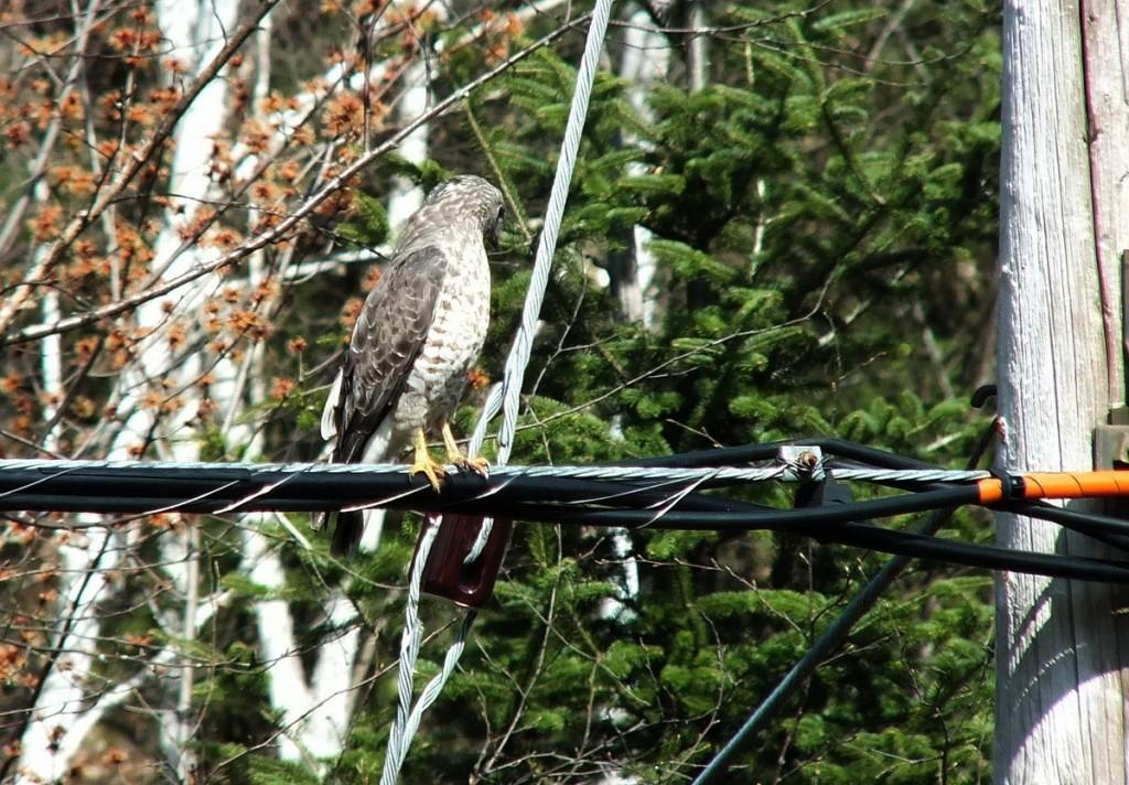 Broad-winged Hawk - sits on a powerline near Dorset - Ontario
