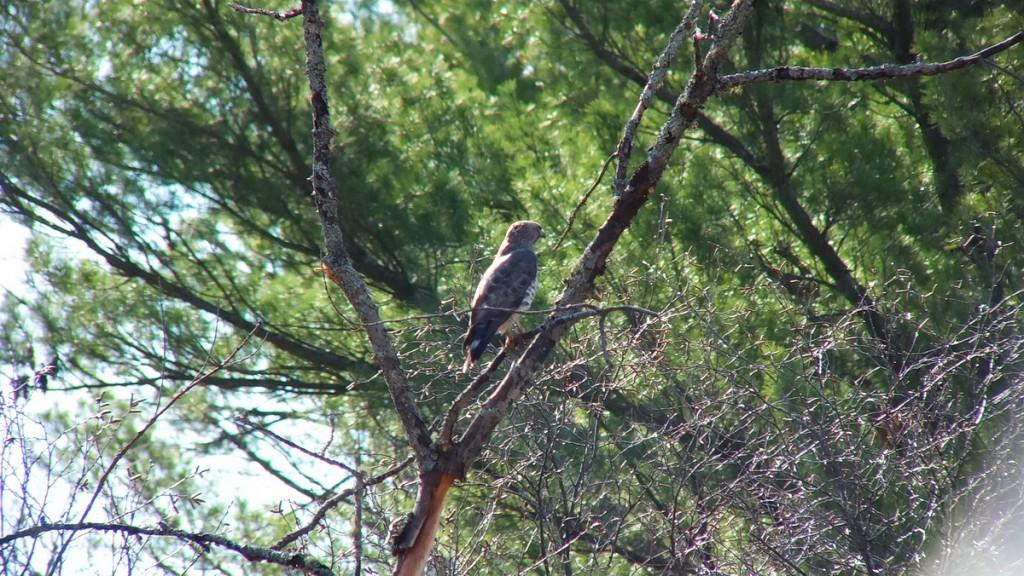 Broad-winged Hawk - sits in a tree near Dorset - Ontario